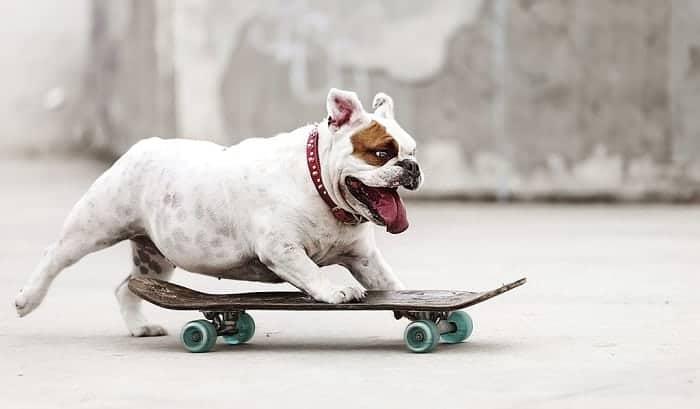 bull-dog-on-skateboard