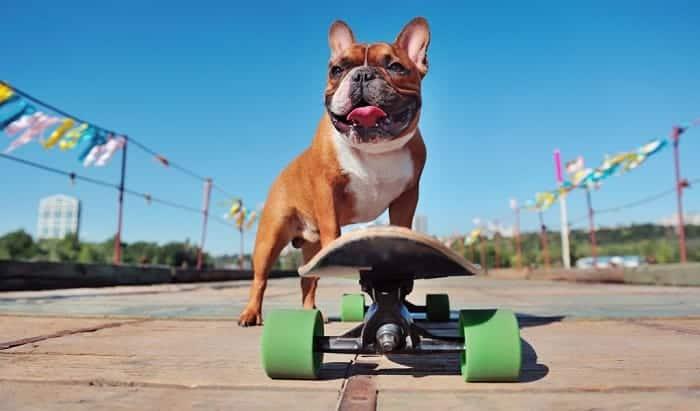 why do bulldogs skateboard